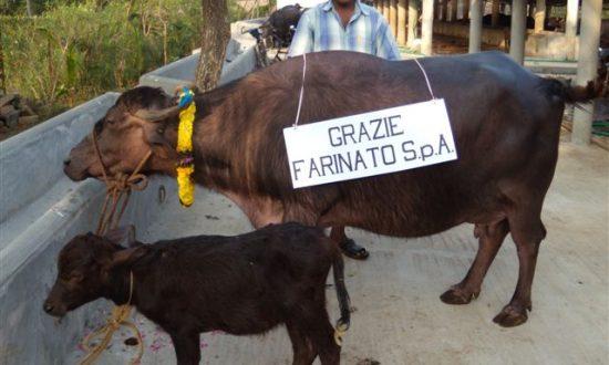 India - Sociale - Acquisto bufala da latte per orfanatrofio di Vijayawâda, Andhra Pradesh